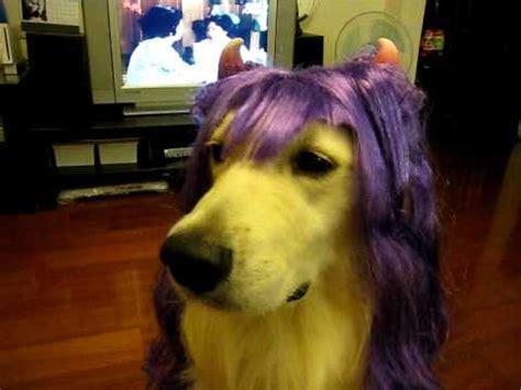 golden retriever wig white golden retriever wears a wig happy