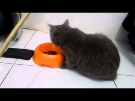 Kaos Kucing Blue Tabby Abstract kucing abu abu imut funnycat tv