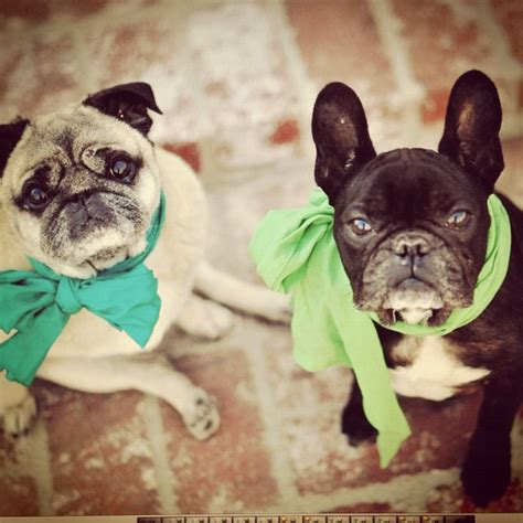 pug day st paddy s day pugs about pug