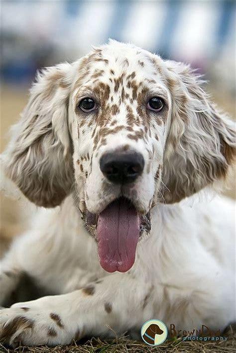 english setter dog i think english setters are beautiful dogs english