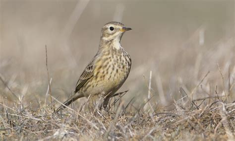 american pipit birds of north america online