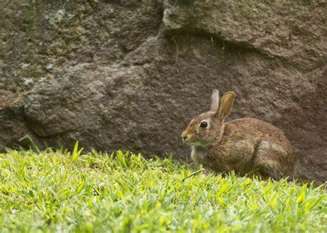 bunny in my backyard photos of the cute bunny in my yard geoff fox my