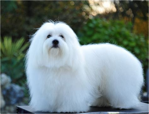 coton de tulear puppy coton de tulear facts pictures temperament price puppies breeders animals adda