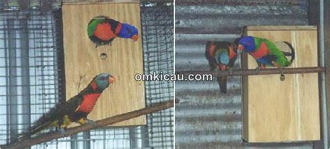 Harga Pakan Burung Nuri merawat dan menangkar burung perkici pelangi om kicau