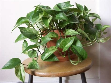 easy indoor plants best 25 golden pothos ideas on pinterest monstera