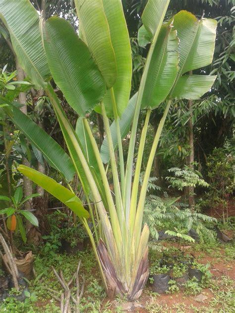 jual pohon pisang kipas pohon pisang hias tukang taman