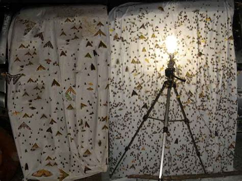 Are Bees Attracted To Light by Lepidoptera Moths