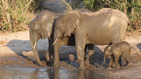 bagno di fango elefante africano botswana hd stock