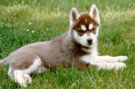 brown husky puppy