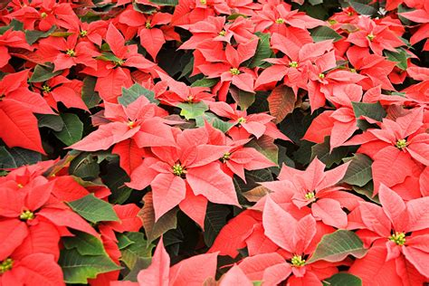 christmas plants 5 facts about poinsettias that may surprise you