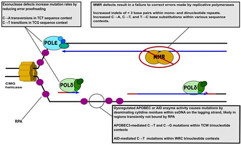 explain how dna serves as its own template during replication explain how dna serves as its own template during