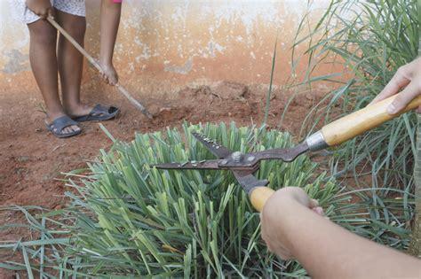 trimming lemongrass tips for pruning lemongrass plants