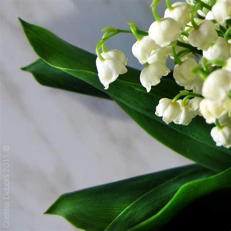 fiori portafortuna esplorando mughetto modesto fiore bianco 232 considerato