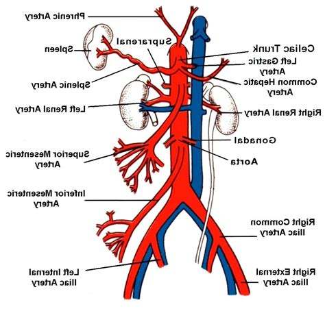 labeled artery diagram diagram labeled diagram of abdominal vasculature