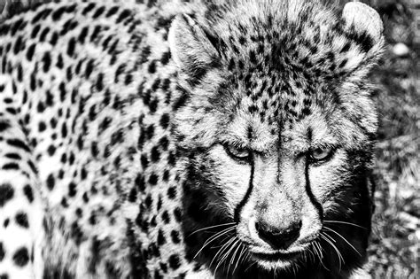 imagenes fondo de pantalla leopardo animaux gu 233 pard wildlife noir blanc animaux fond d 233 cran