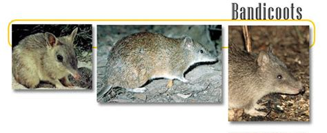 Terbaik Tas Kangaroo Kingdom Bandicoot bandicoot info and
