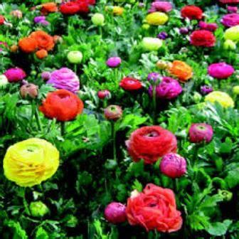 ranuncolo fiore ranuncolo 232 un fiore di co fiori a