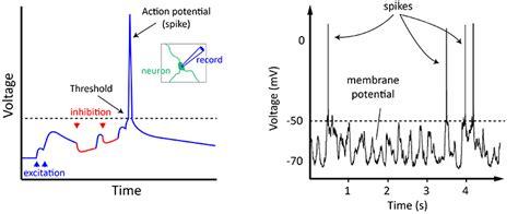 synaptic transmission flowchart synaptic transmission flowchart create a flowchart
