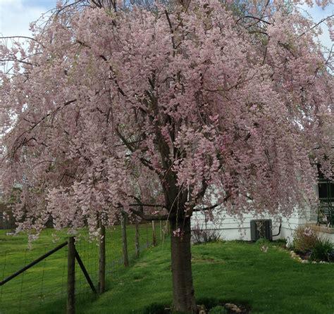 weeping cherry tree last vineyard