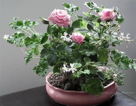 best scented geranium indoors 17 best images about bonsai geraniums bonsai pelargoniums on shrubs photos and
