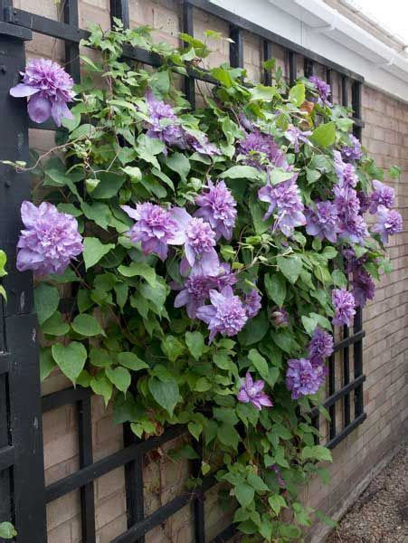 25 best ideas about clematis plants on pinterest