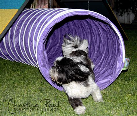 shih tzu obedience fitdog friday shih tzu agility oh my shih tzu