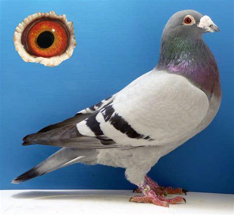 Foundation Pigeon 645 tumley aarden distance foundation aarden