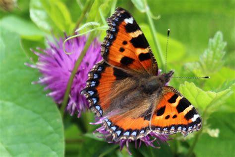 2019 White Kemben Butterfly butterflies and moths of ardnamurchan