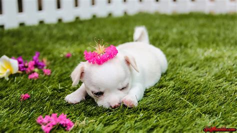 cute puppy dog wallpapers download hd cute puppy wallpaper