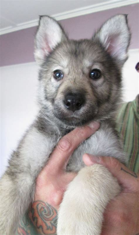 puppies n the gallery for gt northern inuit puppies