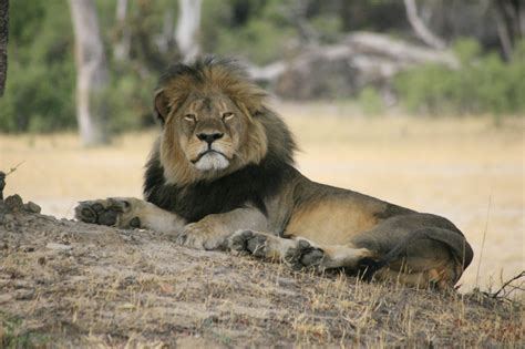 the lion and the american public roars after it gets a glimpse of international trophy hunting of lions 183 a