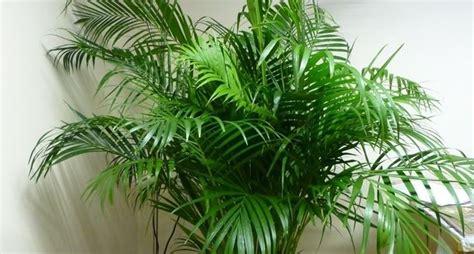 palma da giardino palma alberi coltivare palma malattie palma
