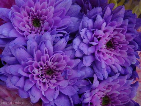 best wallpaper 2012 bright pink and purple flowers stock