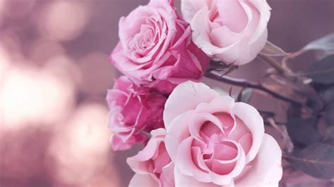 blue wallpaper pink roses blumen rosen rosa rose wallpaper allwallpaper in 6809