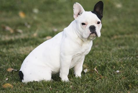 bull breeds bull breeds breeds picture