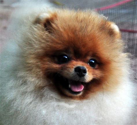 pomeranian puppies cost pomeranian dogs price list in india