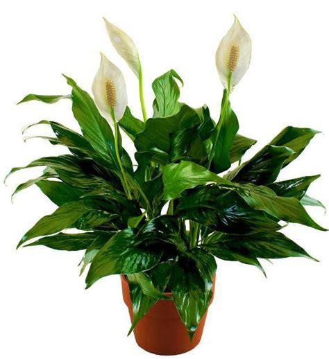 comfort plant comfort peace lily avas flowers