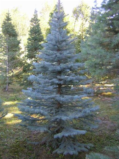gallery of blue spruce christmas tree care perfect homes