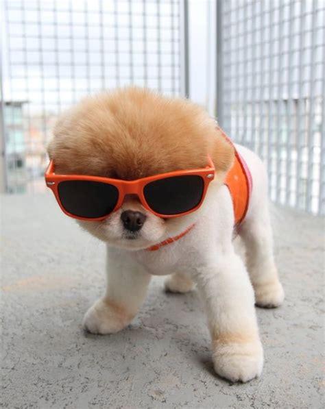 pomeranian puppies boo meet boo the cutest pomeranian damn cool pictures