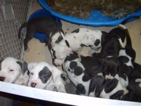 boyles bloodline puppies for sale american pit bull terrier puppies in florida