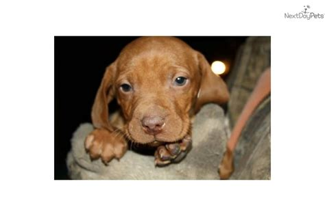vizsla puppies for sale mn vizsla puppies for sale family raised akc registered breeds picture