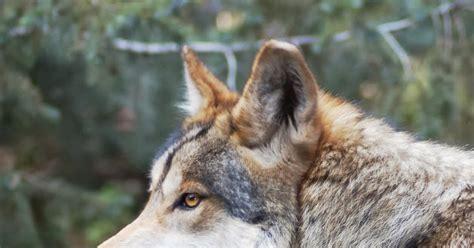 gambar serigala dunia binatang