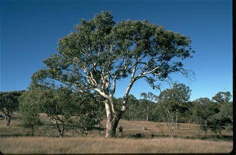 Eucalyptus Trees Blakely S Red Gum Wt Landcare Flora Index