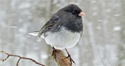 dark eyed junco life history all about birds cornell lab