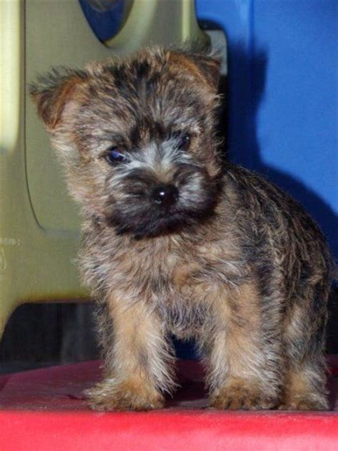 cairn terrier puppies ohio best 25 cairn terriers ideas on