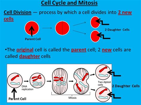 Cell Nex cell cycle and mitosis ppt