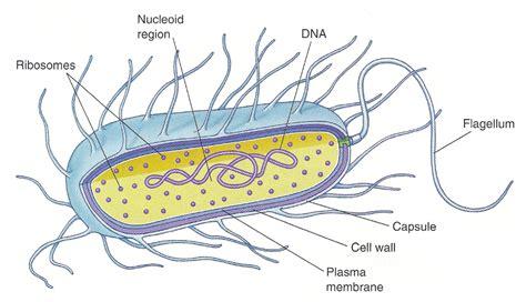 diagram bacterial cell prokaryotic cell diagrams diagram site