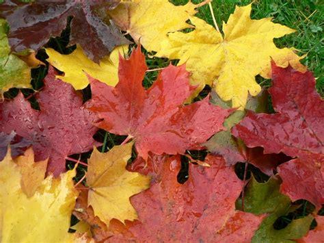 file maple leaves jpg file autumn maple leaves 1 jpg wikimedia commons