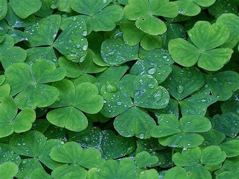 three leaf clover plant 20 edible plants that could save your self sufficiency
