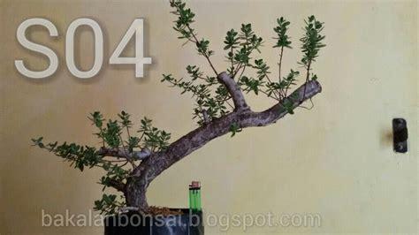 Jual Bakalan Bonsai Murah jual bakalan bonsai bahan bonsai dijual